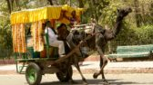 Camel cart carrying tourists